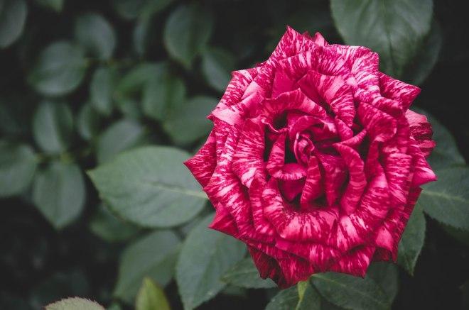 Roses-5